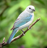 "Blue-gray Tanager <div id=""caption_tourlink"" align=""right""> [photo © guide Dave Stejskal]</div>"