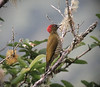 "Rufous-winged Woodpecker <div id=""caption_tourlink"" align=""right""> [photo © guide Dave Stejskal]</div>"