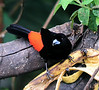 "Passerini's Tanager <div id=""caption_tourlink"" align=""right""> [photo © guide Dave Stejskal]</div>"
