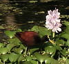 "Northern Jacana <div id=""caption_tourlink"" align=""right""> [photo © guide Dave Stejskal]</div>"