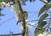 """Other highland specialties include Yellowish Flycatcher and... <div id=""""caption_tourlink"""" align=""""right""""> [photo © participant Dominic Sherony]</div>"""