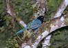 """Bushy-crested Jay.  This particular corvid is quite common in the park where it travels in small family groups. <div id=""""caption_tourlink"""" align=""""right""""> [photo © participant Dominic Sherony]</div>"""