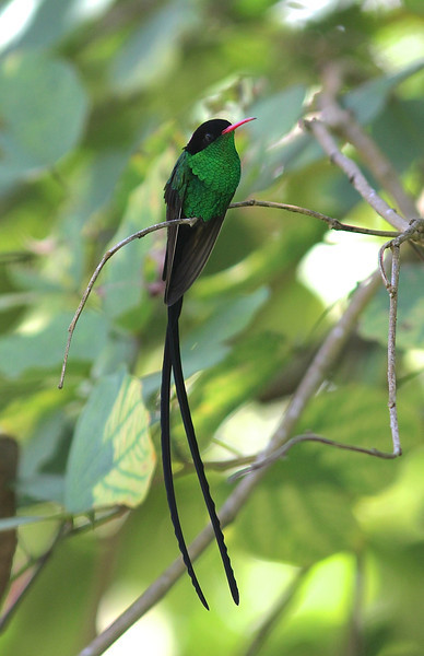 The male Streamertail alone is worth a trip to Jamaica (Red-billed subspecies here). The two distinct subspecies are already split by some authorities. Those elaborate tail streamers make a most interesting sound when the bird flies. (Photo by guide Eric Hynes)