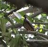 "A Bridled Quail-Dove on Montserrat. <div id=""caption_tourlink"" align=""right""> [Photo © guide Jesse Fagan]</div>"