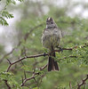 """Rain in the dry forest of Grenada has this Yellow-bellied Elaenia a bit confused. <div id=""""caption_tourlink"""" align=""""right""""> [Photo © guide Jesse Fagan]</div>"""
