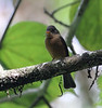 """A St. Lucia Pewee in the shadows of the Des Cartier rainforest. <div id=""""caption_tourlink"""" align=""""right""""> [Photo © guide Jesse Fagan]</div>"""