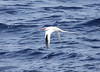 """Our group had a great view of Red-billed Tropicbird from the ferry on our way to Montserrat. <div id=""""caption_tourlink"""" align=""""right""""> [Photo © guide Jesse Fagan]</div>"""