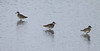 """A trio of Black-bellied Plovers  on the island of Barbados, an important stopover site for thousands of shorebirds each year. <div id=""""caption_tourlink"""" align=""""right""""> [Photo © guide Jesse Fagan]</div>"""