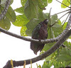 """An Imperial Parrot tries to stay dry under Cecropia leaves. <div id=""""caption_tourlink"""" align=""""right""""> [Photo © guide Jesse Fagan]</div>"""