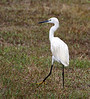 """A Little Egret in mid-April on the island of Barbados.  This species is firmly established on the island.   The first record was in 1954 (in fact, first for the Western Hemisphere), the next in 1993, but since that time it has expanded in numbers and bred. <div id=""""caption_tourlink"""" align=""""right""""> [Photo © guide Jesse Fagan]</div>"""