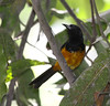 """The endemic Montserrat Oriole survives (outside of aviaries in the Old World) only in the Centre Hills on the island.  Its population is stable due in large part to the work of local biologists and past support from the RSPB. <div id=""""caption_tourlink"""" align=""""right""""> [Photo © guide Jesse Fagan]</div>"""