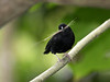 """A male St. Lucia Black-Finch carries nesting material. <div id=""""caption_tourlink"""" align=""""right""""> [Photo © guide Jesse Fagan]</div>"""