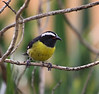 """Bananaquit variation, part II: a bird from the island of Grenada (note the sooty throat), which has a large population of dark-morph individuals.  In fact, this """"normal"""" looking 'quit even shows faint dark streaking on the underparts. <div id=""""caption_tourlink"""" align=""""right""""> [Photo © guide Jesse Fagan]</div>"""
