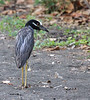 """A Yellow-crowned """"Night""""-Heron hunts crabs during the day on the island of St. Vincent.<div id=""""caption_tourlink"""" align=""""right""""> [Photo © guide Jesse Fagan]</div>"""