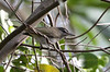 """A Black-whiskered Vireo on St. Vincent: some populations of this species in the Caribbean are migratory (e.g., in the Bahamas), but those in the Lesser Antilles are resident.<div id=""""caption_tourlink"""" align=""""right""""> [Photo © guide Jesse Fagan]</div>"""