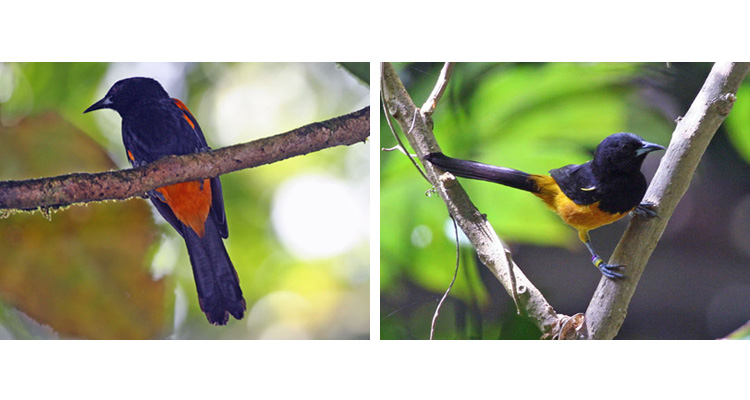 """I have a fondness for the icterids, and orioles are some of my favorites. The three Lesser Antillean orioles are each single-island endemics, with the Montserrat Oriole (right) extremely endangered due to the volcanic activity on its home island. Much of the former habitat is now gone—it lies beneath many feet of ash! The St. Lucia Oriole (left) is brilliant, deep orange below even for an oriole. In appearance the most unusual is the Martinique Oriole (not pictured), which has a wonderful chestnut head contrasting with saffron underparts and wing patch. Trust me, you've gotta see the real thing. <div id=""""caption_tourlink"""" align=""""right""""> [photo © guide Alvaro Jaramillo]</div>"""