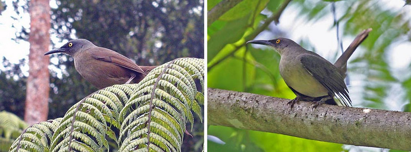 """Two fantastic and weird birds of the Lesser Antilles are the tremblers. The left-hand bird is the Brown Trembler and the one at right is the Gray Trembler. True to their name, when they become excited the wings begin to quiver and the tail shivers...trembling out of nervousness! <div id=""""caption_tourlink"""" align=""""right""""> [photo © guide Alvaro Jaramillo]</div>"""