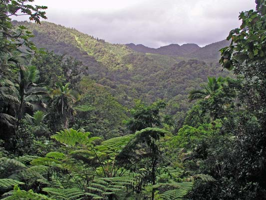 "While individual islands are small, each holds an impressive amount of habitat diversity. The trade winds blow from the east steadily throughout most of the year, bringing moisture and rain that falls on the highlands. Here the highlands of St. Lucia show that extensive rainforest abounds—this is the home of many of St. Lucia's endemic species. In the lowlands and in leeward sites, a dry thorn-forest is found on many of the Lesser Antilles. Some of the birds of this dry forest are among the rarest on the islands. <div id=""caption_tourlink"" align=""right""> [photo © guide Alvaro Jaramillo]</div>"