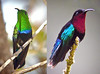"""The Caribbean is named for the Carib Indians, and this native group also gave its name to two gorgeous Lesser Antilles specialties: the Carib hummingbirds. On the left is the Green-throated Carib, found in generally drier sites, while on the right is the forest-based Purple-throated Carib. The long and downcurved bills are specifically shaped to exploit nectar from flowers with long corollas, such as Heliconias. In fact, female and male Purple-throated Caribs show a noticeable difference in the curvature of their bills, each sex minimizing competition by specializing on slightly different flowers. <div id=""""caption_tourlink"""" align=""""right""""> [photo © guide Jay VanderGaast]</div>"""