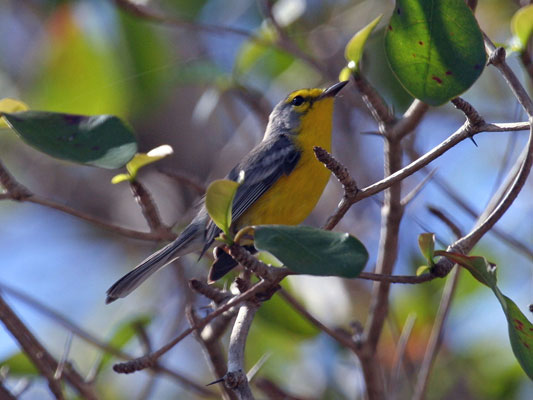"The Barbuda Warbler is one of the last single-island endemic birds we encounter on this trip. It was separated as a species a few years ago from the Adelaide's Warbler based on DNA research and its different plumage. Additionally, the way that the Barbuda Warbler cocks its tail when foraging and the pale gray upperparts give it a rather gnatcatcher-like look that neither the Adelaide's nor St. Lucia Warbler shows. The perky nature of this bird and its colorful look add a welcome bit of spark to the dry scrub forests of Barbuda. <div id=""caption_tourlink"" align=""right""> [photo © guide Alvaro Jaramillo]</div>"