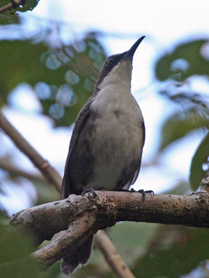 """One of the rare species of the dry forests of the Lesser Antilles is the White-breasted Thrasher, a rather unusual mimid, but then most of the Antillean mimids are odd. The White-breasted Thrasher is found only on St. Lucia and Martinique. Estimates of over 1000 birds exist for St. Lucia, but only 200 are thought to remain on Martinique, where this photo was taken. <div id=""""caption_tourlink"""" align=""""right""""> [photo © guide Alvaro Jaramillo]</div>"""