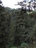 Upper elevation coniferous forest on Cerro San Felipe. Photo by guide Dan Lane.