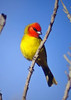 "Red-headed Tanager <div id=""caption_tourlink"" align=""right""> [photo © guide Dan Lane]</div>"