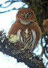 "A red morph Northern (or Mountain) Pygmy-Owl <div id=""caption_tourlink"" align=""right""> [photo © guide Dan Lane]</div>"