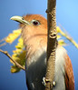 "Squirrel Cuckoo <div id=""caption_tourlink"" align=""right""> [photo © guide Megan Crewe]</div>"