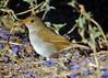 Orange-billed Nightingale-Thrush. Photo by guide Dan Lane.