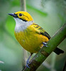 "The elegant Silver-throated Tanager <div id=""caption_tourlink"" align=""right""> [photo © guide John Rowlett]</div>"