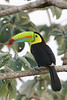"Keel-billed Toucan <div id=""caption_tourlink"" align=""right""> [photo © participant Paul Thomas]</div>"