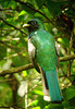 "Black-throated Trogon <div id=""caption_tourlink"" align=""right""> [photo © guide John Rowlett]</div>"