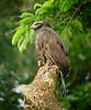 "The imposing Black Hawk-Eagle <div id=""caption_tourlink"" align=""right""> [photo © guide John Rowlett]</div>"