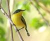 "Common Tody-Flycatcher <div id=""caption_tourlink"" align=""right""> [photo © guide George Armistead]</div>"