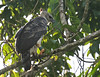 "Harpy Eagle <div id=""caption_tourlink"" align=""right""> [photo © guide George Armistead]</div>"