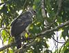 "Harpy Eagle <div id=""caption_tourlink"" align=""right""> [photo © guide George Armistead]</div>"