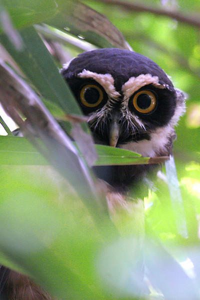 "Spectacled Owl <div id=""caption_tourlink"" align=""right""> [photo © participant Paul Thomas]</div>"
