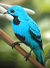 "Blue Cotinga <div id=""caption_tourlink"" align=""right""> [photo © guide Jay VanderGaast]</div>"