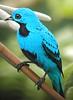 "Blue Cotinga <div id=""caption_tourlink"" align=""right""> [photo © guide Jay VanderGaast]</div>"