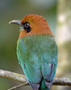 "Broad-billed Motmot <div id=""caption_tourlink"" align=""right""> [photo © guide John Rowlett]</div>"