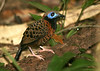 "Ocellated Antbird <div id=""caption_tourlink"" align=""right""> [photo © guide George Armistead]</div>"