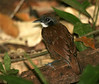 "Bicolored Antbird <div id=""caption_tourlink"" align=""right""> [photo © guide George Armistead]</div>"