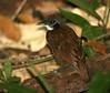 "Bicolored Antbird <div id=""caption_tourlink"" align=""right""> [photo © guide George Armistead]</div>"