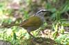 "Black-striped Sparrow <div id=""caption_tourlink"" align=""right""> [photo © guide George Armistead]</div>"