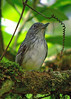 "Spot-crowned Antvireo <div id=""caption_tourlink"" align=""right""> [photo © guide John Rowlett]</div>"
