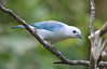 "Blue-gray Tanager <div id=""caption_tourlink"" align=""right""> [photo © guide George Armistead]</div>"