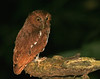 "Choco (Vermiculated) Screech-Owl <div id=""caption_tourlink"" align=""right""> [photo © guide George Armistead]</div>"