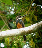 "Dusky-backed Jacamar <div id=""caption_tourlink"" align=""right""> [photo © guide John Rowlett]</div>"