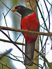 "Black-tailed Trogon <div id=""caption_tourlink"" align=""right""> [photo © guide John Rowlett]</div>"